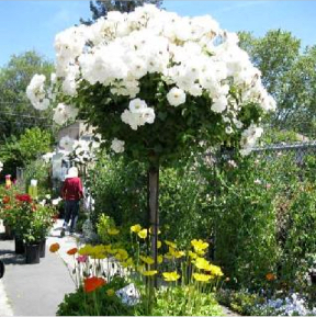 King S Flower Nursery Santa Rosa Ca
